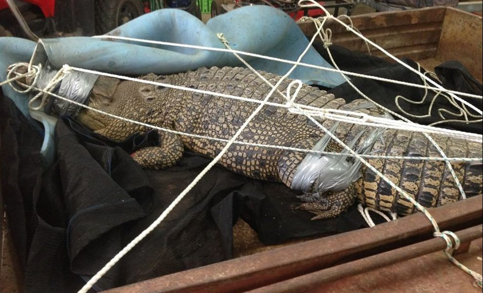 The captured Mary River croc.