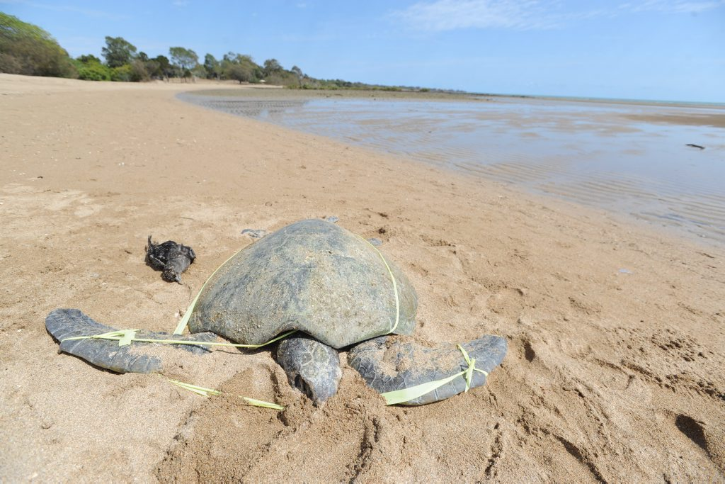 A dead turtle has washed up on the beach at Pialba near Beach Rd.