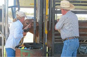 Checking the weight of cattle at the feedlot.
