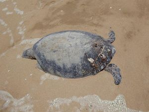 Boat strike suspected in turtle deaths on Curtis Is, Tannum