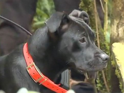 Liberty the pit bull mix brought home a human leg. Picture: KOMO News S