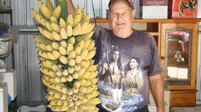 Ken Arndt picked a monster 38kg bunch of 273 bananas at his home in Grantham.