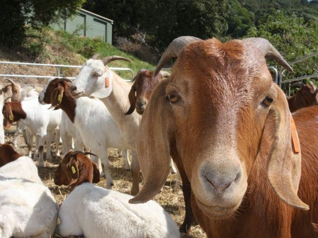 The future is looking bright for goat producers.