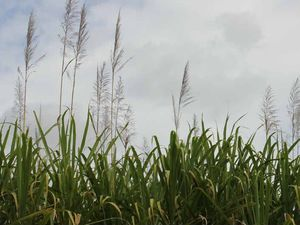 Rain means 4000t of cane misses final week's crush