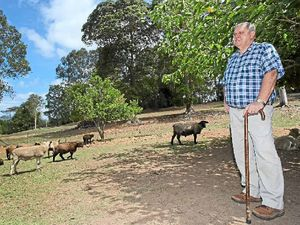 Dogs tear into hinterland sheep