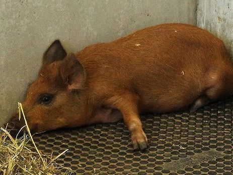 The pig allegedly smuggled into the Gabba is still worse for wear. Photo: RSPCA