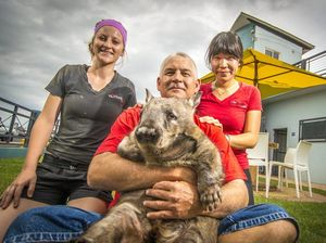 Wiggles the wombat has a morning out at Gladstone cafe