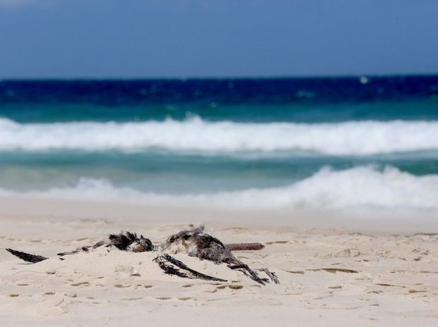 Mutton birds washed up dead on Kingscliff Beach.