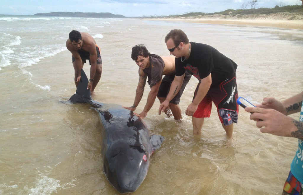TOUGH RESCUE: The group attempts to return one of the whales to the ocean after they were washed up on Nine Mile Beach, near Five Rocks.
