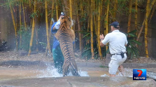 An Australia Zoo tiger handler is attacked. Image: Seven News