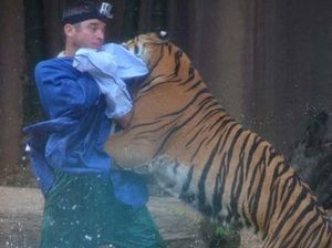 Tiger handler attacked at Australia Zoo 'dressed like toy'