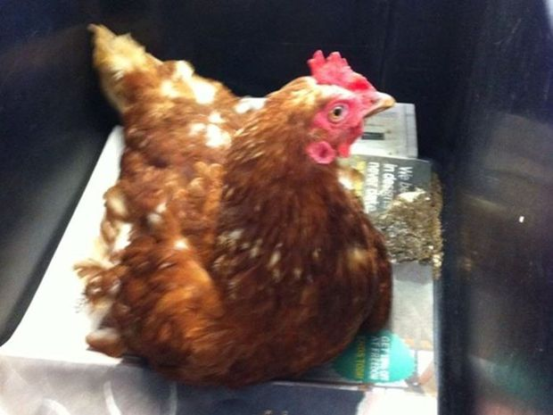 Coorabell Primary teacher Colleen Crawford took these photos of a chicken which miraculously survived despite being hit by her car.