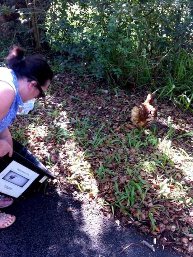 Coorabell Primary teacher Colleen Crawford took these photos of a chicken which miraculously survived despite being hit by her car. Photo Contributed