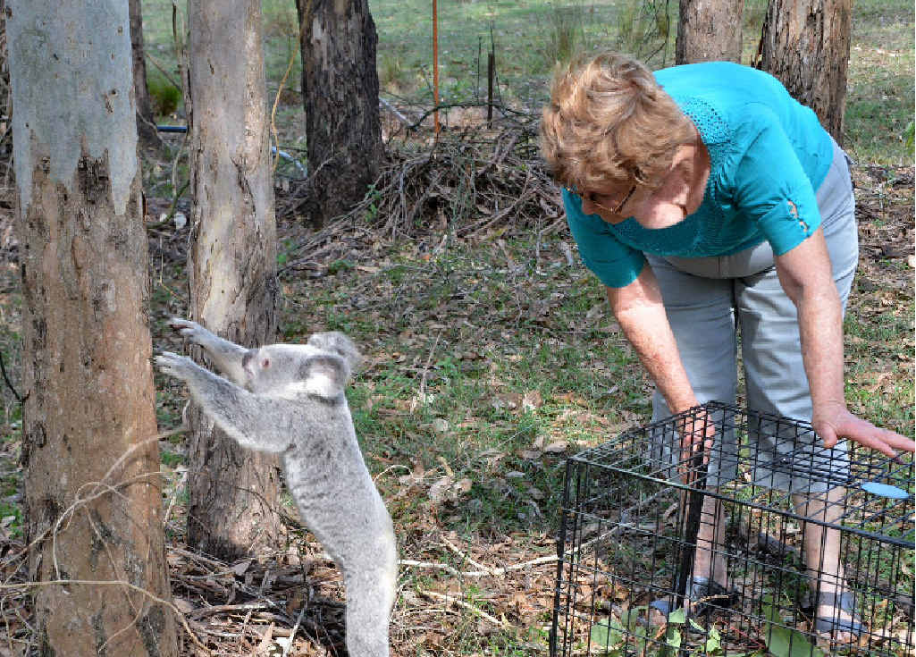 Bubbles the koala is released back into the wild on Tuesday by wildlife carer Paula Rowlands on their property at Glastonbury.