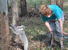 Couple releases Bubbles the koala