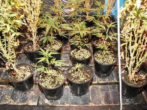 Police raids net drug hauls, hydroponic setup in Agnes