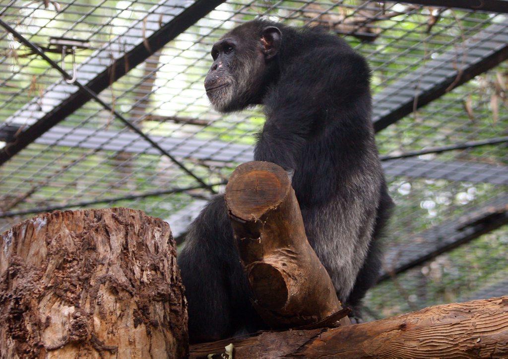 ockie12c Ockie the chimp at the Rockhampton Zoo CHRIS ISON CI12-0310-13