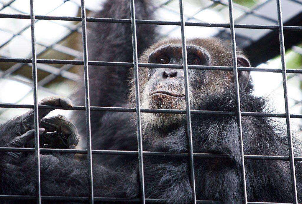 ockie12d Ockie the chimp at the Rockhampton Zoo CHRIS ISON CI12-0310-14