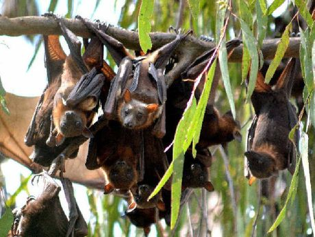 Flying foxes are an issue in Toowoomba's suburbs.