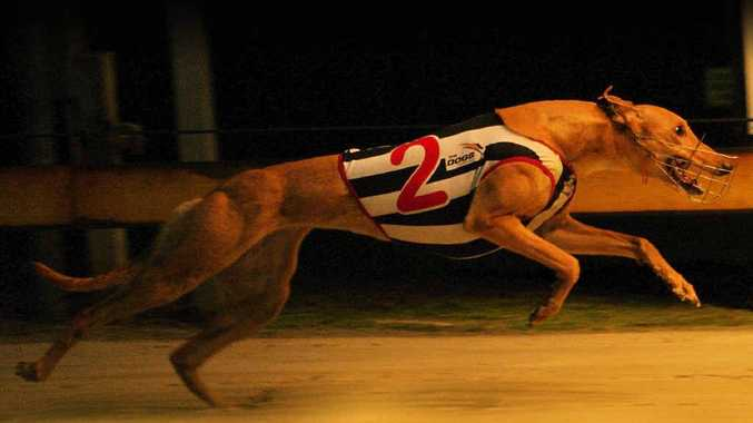 BIG SHOW: Locally-owned greyhound Exhibitionist is out to make it six wins in a row in the $75,000 Puppy Classic at Dapto tonight. PHOTO: Carlie Bullen