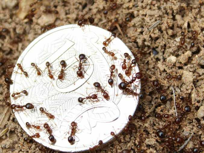 The red imported fire ants pose a huge threat to agriculture and Gladstone's outdoor lifestyle.