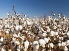 THIS year's cotton crop is largely in the ground and growers are optimistic, given a stronger price forecast in 2014.