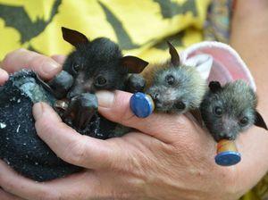 Bat campaigners enter the hornet's nest