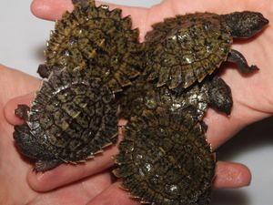 Population check of Bellinger River snapping turtles