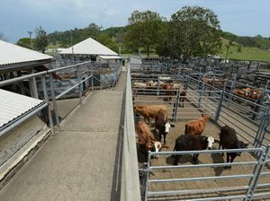 Biggest yearly cattle sales will be held in Sarina