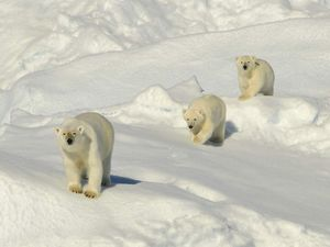Need to find a polar bear or two? Time for Arctic getaway