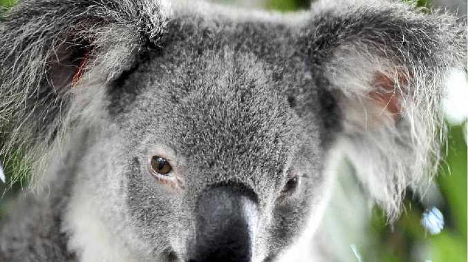 UNDER THREAT: Local koala colonies are under pressure.