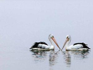 Top billing for Vicki's pelican image