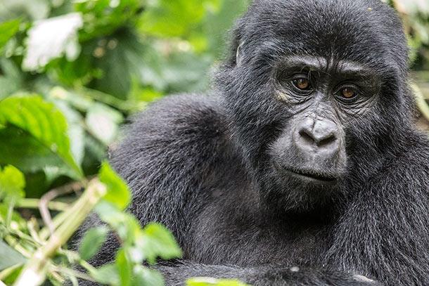 Wild gorilla in Bwindi Impenetrable Forest, Uganda