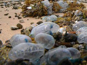 Beachgoers warned to keep an eye out for marine stingers