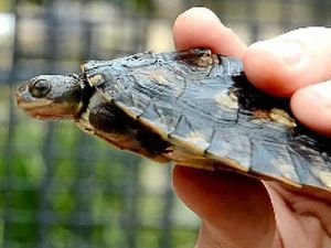 Visitors advised: removal of Mary River turtles illegal