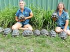 NEW HOME: Aldabra giant tortoise babies in their new enclosure with senior keeper Renae Radke and zoo director Stephanie Robinson.