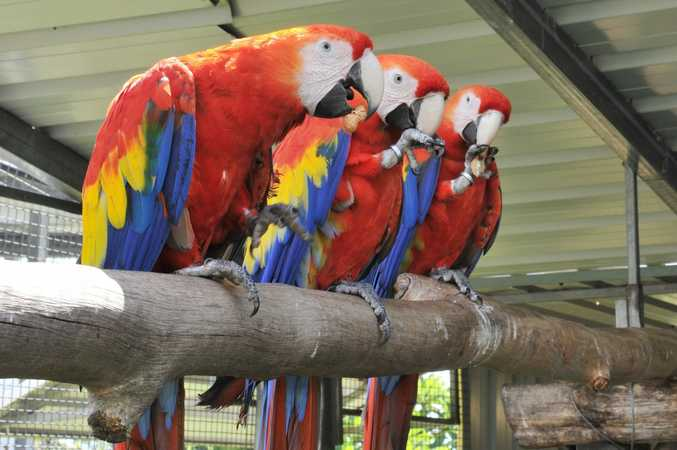 Macaws Photo Mireille Merlet-Shaw / The Northern Star
