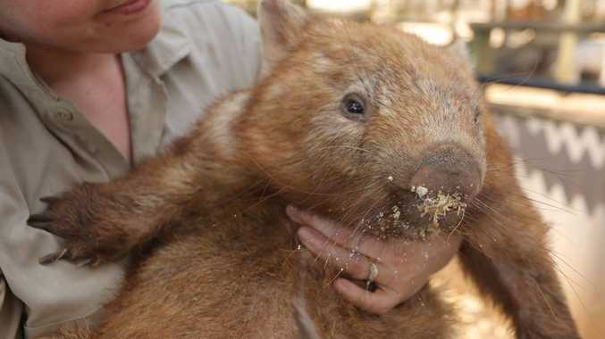 Beloved Diesel the Wombat of the Macadamia Castle, Knockrow, has passed away. Photo Contributed