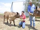 Cambooya hobby farmers Samarra Davis and Troy Caldicott feed their herd after one of their calves was killed by a roaming dog.