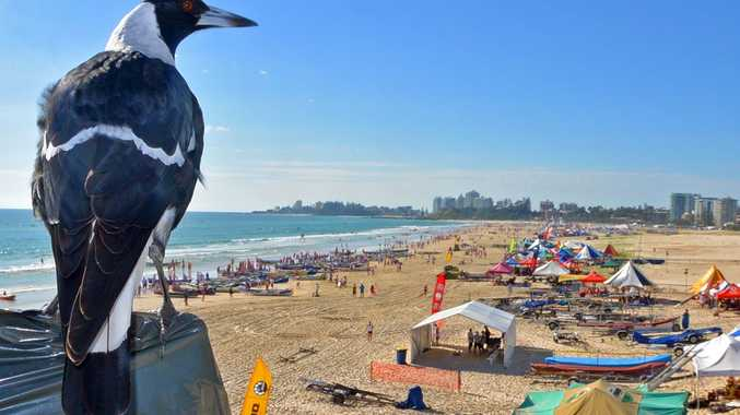 A magpie watches over the Surf Life Saving Championships at Kirra Beach.