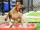 COOLING OFF: Byron from the RSPCA at Wacol enjoys playing under the hose.