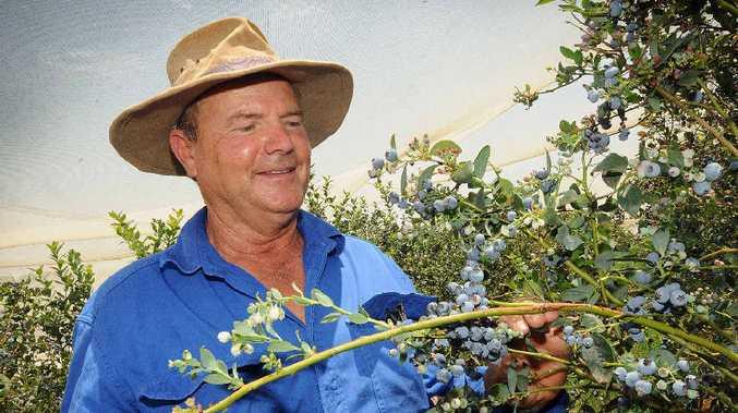 BLUEBERRY FIELDS FOREVER: Blueberry farmer Otto Saeck checks his blueberries.