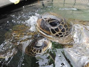 Turtles are thriving
