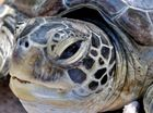 LNG bosses from London visit Quoin Island turtle centre