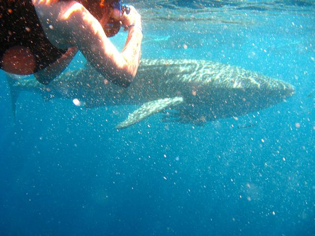 Swimming with a whale shark in WA