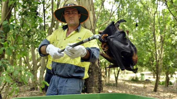 TRAGIC END: A council worker picks up dead fruit bats for disposal.
