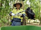 TRAGIC END: A council worker picks up dead fruit bats for disposal.