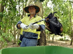 Heat kills more than 2000 flying foxes in Ipswich and Redbank