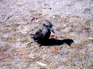 Very rare black kookaburra flies in for a visit