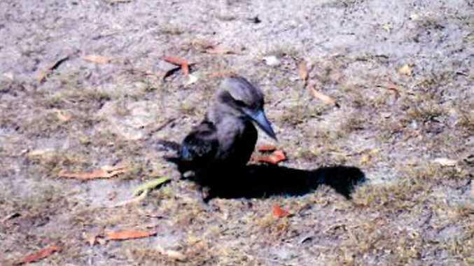 Rare black kookaburra at Gin Gin. Photo: Lindsay Stellan